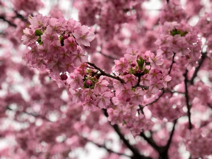 春の心身にアロマテラピーを。「桜の香り」